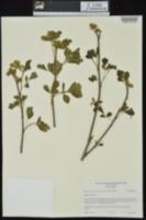 Rhus aromatica var. serotina image