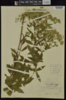 Eupatorium semiserratum image