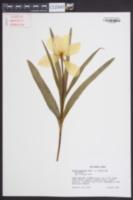 Image of Tulipa batalinii