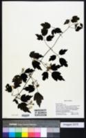 Image of Clematis apiifolia