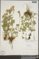 Verbena canadensis image