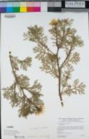 Glebionis coronaria image