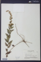 Image of Solidago celtidifolia