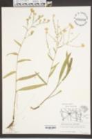 Image of Aster concinnus