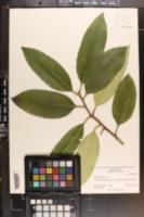 Ilex latifolia image