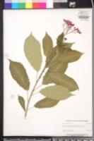 Jatropha tupifolia image