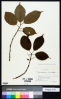Image of Prunus jamasakura