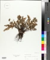 Myriopteris gracilis image