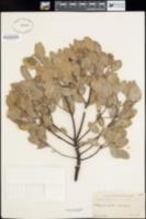 Arctostaphylos intricata image