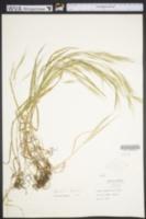 Bromus sterilis image