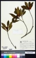 Image of Gordonia fruticosa