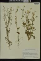 Ranunculus sardous image