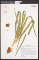 Allium cepa var. proliferum image