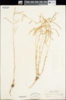 Arabis brachycarpa image
