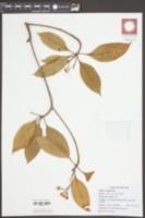 Image of Fagraea fragrans