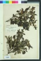 Cornus sanguinea image