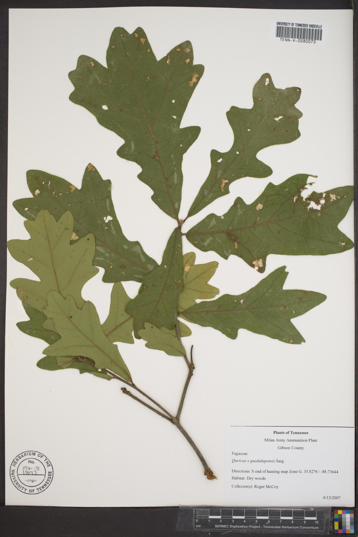Quercus x guadalupensis image