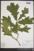 Image of Quercus x guadalupensis