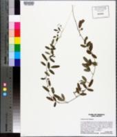 Galactia microphylla image