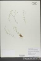Mononeuria cumberlandensis image