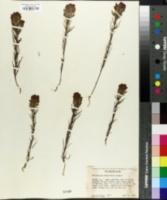 Image of Orthocarpus tenuifolius