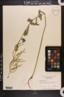 Boechera canadensis image