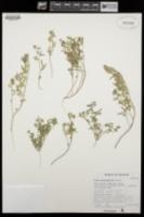 Lotus salsuginosus image