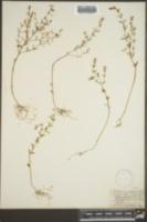 Clinopodium brownei image