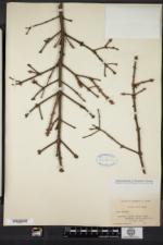 Picea rubens image