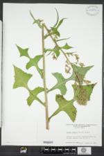 Lactuca biennis image