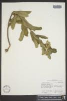 Asclepias obovata image