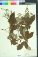 Image of Clethra barbinervis