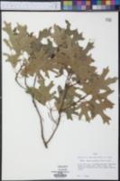 Quercus buckleyi image
