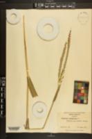 Tripsacum dactyloides image
