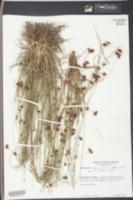 Rhynchospora fascicularis image