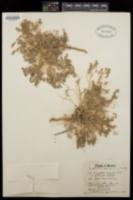 Euphorbia polycarpa image