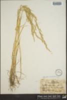 Sphenopholis obtusata image