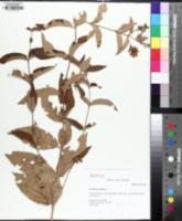 Image of Lysimachia vulgaris
