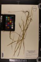 Leersia hexandra image