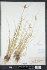 Carex cryptolepis image