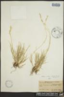 Hilaria mutica image