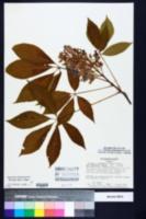 Aesculus x mutabilis image