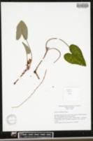 Image of Asarum callifolium