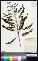 Image of Chamaecrista debilis