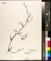 Image of Scaevola ramosissima