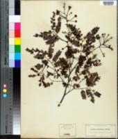 Image of Lysiloma latisiliqua