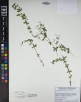 Galium sparsiflorum image