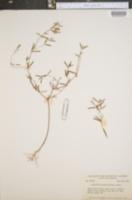 Euphorbia missurica image