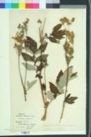 Image of Filipendula ulmaria