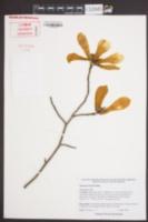 Magnolia biondii image